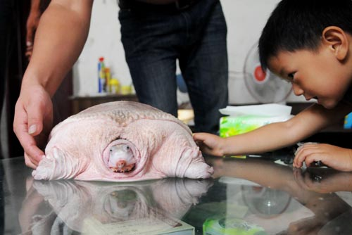 ZHENGZHOU, CHINA  JULY 20: A man shows a white turtle that has a similar appearance to a plucked turkey which he found at the riverside of Yellow River on July 20, 2009 in Zhengzhou of Henan Province, China. The turtle weighs about 6.5 kg and it's 40 cm long.  Credit: Maxppp/Photoshot.  All Rights Reserved.
