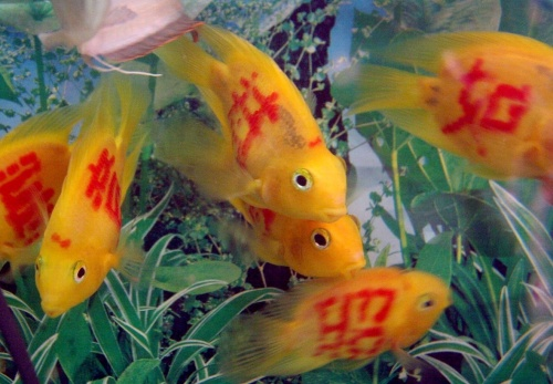CHINA XIAMEN TATTOOED FISHES